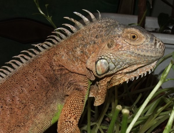 iguana sex difference in Welland