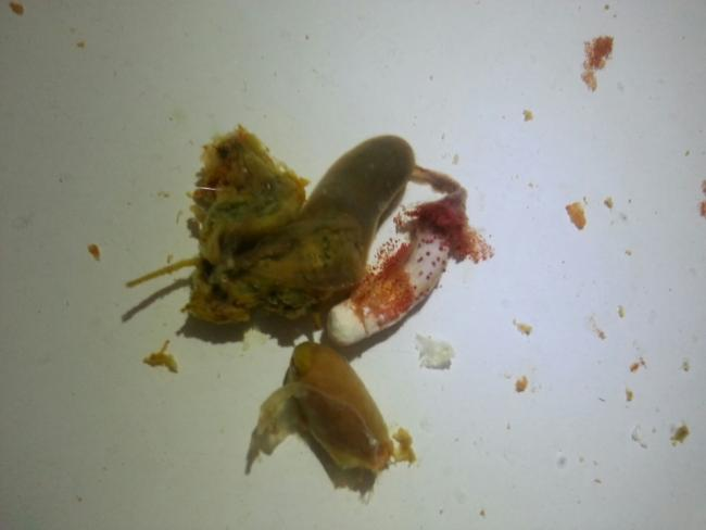 Bearded Dragon Strange Poop With Red Dots Our Reptile Forum