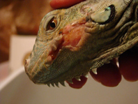 First Aid Guide for Reptiles | Our Reptile Forum