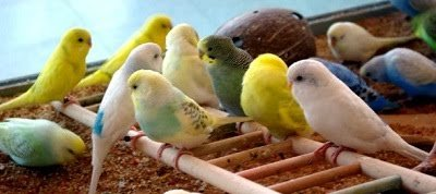 Budgies | Our Reptile Forum