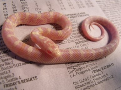 Baby albino jungle corns  | Our Reptile Forum