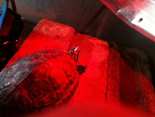 Yellow bellied slider turtle-meet scooter | Our Reptile Forum