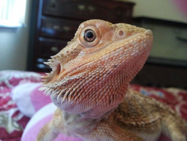 Bearded Dragon Sunken Eyes But No Other Signs and Symptoms ...