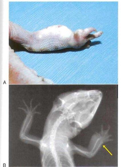 Gout in Reptiles   Our Reptile Forum