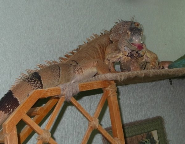 Iguanas - the world continues   Our Reptile Forum