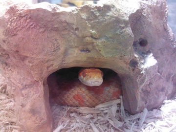 Corn Snake Care Sheet | Our Reptile Forum