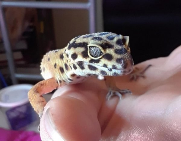 my leopard gecko jarlaxle | Our Reptile Forum